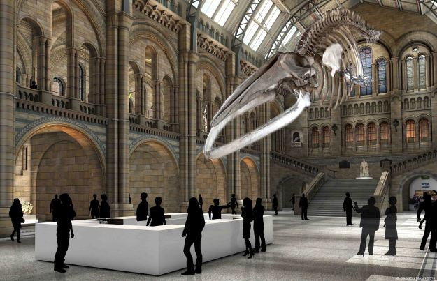 A view of whale skeleton in the NHM's Hints Hall
